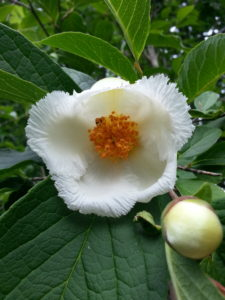 Check out http://www.missouribotanicalgarden.org for more information on Stewartia